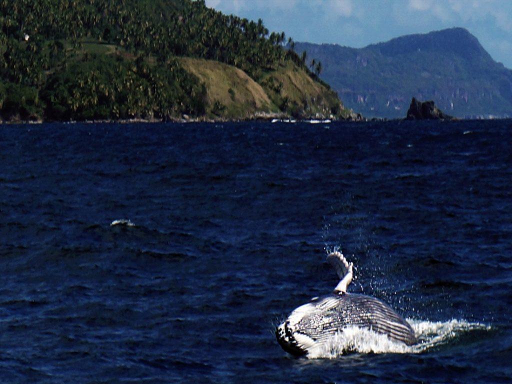 whale watching punta cana dominican republic
